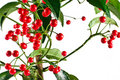 Free Plant With Red Berries Royalty Free Stock Images - 21383699