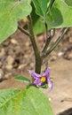 Free Eggplant Purple Flower Royalty Free Stock Image - 21386496