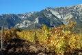 Free Grape Vines Royalty Free Stock Photo - 21387795