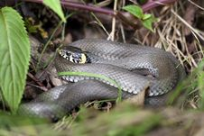 Free Grass Snake Royalty Free Stock Photography - 21382737
