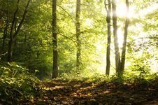 Free Misty Autumn Forest Royalty Free Stock Image - 21383036