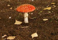 Free Poisonous Mushroom Agaric. Amanita Stock Images - 21383204