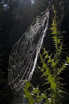Free Dewy Spiderweb Royalty Free Stock Image - 21383316