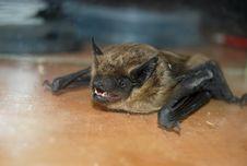 Free Bat Royalty Free Stock Image - 21383386