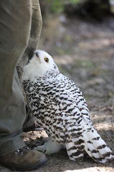 Free Snowy Owl (Nyctea Scandiaca) Stock Image - 21383411