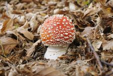 Free Amanita Muscaria, Fly Agaric Royalty Free Stock Images - 21383919