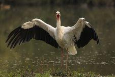Free White Stork - Ciconia Ciconia Linnaeus Royalty Free Stock Image - 21383956