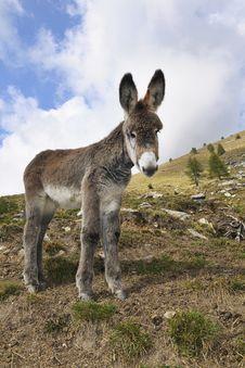 Free Donkeys , Equus Africanus Asinus Royalty Free Stock Image - 21383996