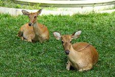 Two Sitting Deer Stock Photography