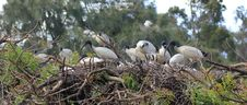Free Australian White Ibis Colony Nesting Royalty Free Stock Images - 21385829
