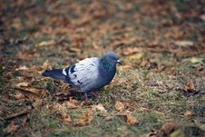Free Pigeon Stock Images - 21386074