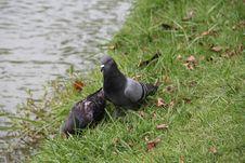 Free Grey Pigeons Royalty Free Stock Image - 21386706