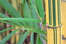 Free Close Up Of  Golden-Stripe Bamboo Stems Royalty Free Stock Images - 21386799