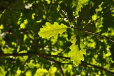 Free Green Oak Leaves Royalty Free Stock Photos - 21387428