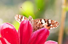 Free Butterfly On A Red Flower Stock Photography - 21387642