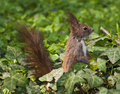 Free Eurasian Red Squirrel Stock Images - 21394244