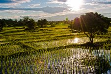 Rice Field With Sun Ray