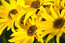 Beautiful Yellow Flowers And Ladybird Royalty Free Stock Image