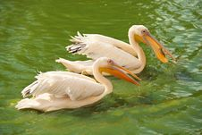 Pink Pelicans Wading In A Pond Stock Images
