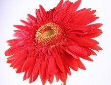 Free Gerber Flower Royalty Free Stock Photos - 21394238