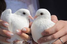 Free Pair Of Pigeons Stock Photography - 21394492