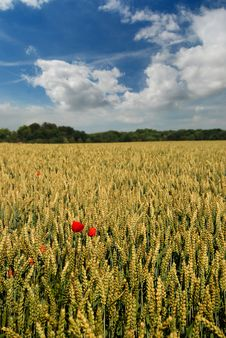 Free Wheat Field Royalty Free Stock Images - 21394509