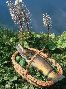 Trout In A Basket Royalty Free Stock Photos