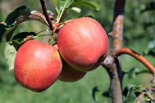 Close-up Of Apples On Tree Stock Images