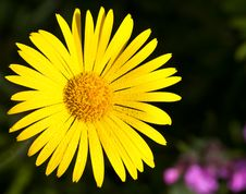 Free Yellow Daisy Royalty Free Stock Images - 21399099