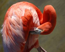 Free Grooming Pink Flamingo Royalty Free Stock Images - 2140179