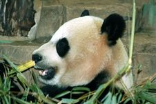 Free Giant Panda Eating Bamboo Royalty Free Stock Photos - 2140658