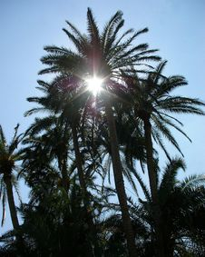 Free Sunlight Through The Palm Tree Royalty Free Stock Photos - 2140838