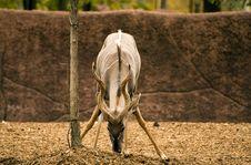 Free Desert Antelope Royalty Free Stock Photography - 2141417