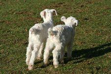 Free Farm Animal Stock Photo - 2144210