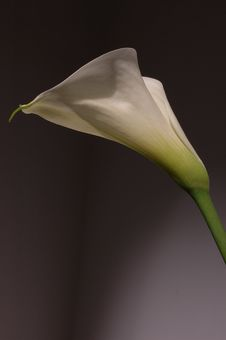 Free White Calla Lily Stock Photos - 2144953