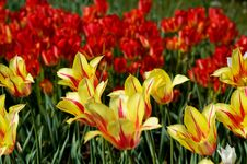 Free Tulip Stock Photos - 2146093
