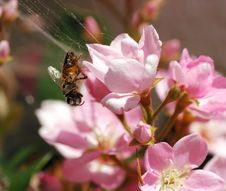 Free Honeybee In Spider S Web Stock Photos - 2146983