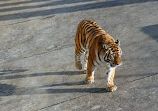 Free Tiger Walking Stock Image - 2148951