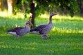 Free Elks Royalty Free Stock Image - 21409216