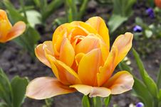 Free Yellow Tulip. Royalty Free Stock Photo - 21400375