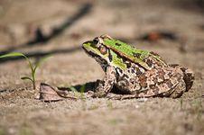 Free Frog Stock Image - 21404401