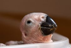 African Grey Parrot Chick Stock Photos