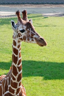 Portrait Of A Young Giraffe, Rotterdam Zoo
