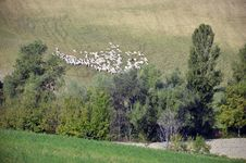 Free Sheep Near Forest Stock Photos - 21409693