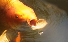 Free Koi Eating Food Royalty Free Stock Photography - 21410237