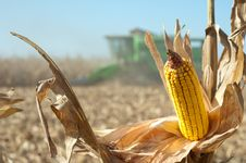 Free Corn Field Stock Images - 21412364