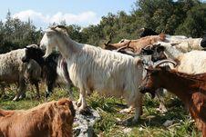 Free Goats On The Mountain Stock Photo - 21412970
