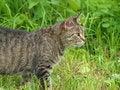 Free Hunting Cat Stock Image - 21425771