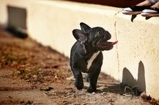 Free French Bulldog Puppy Royalty Free Stock Images - 21420389