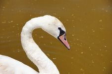 Free Expressive S Swan Look Stock Image - 21425341